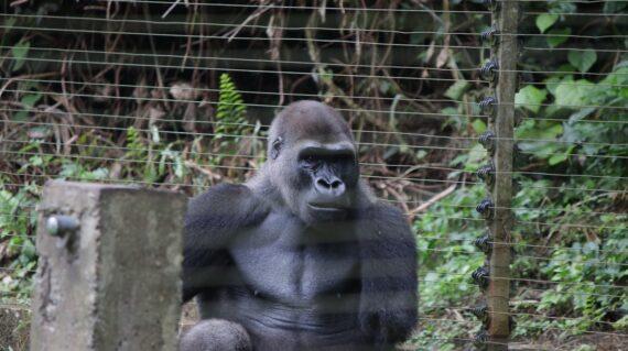 notice-that-this-gorilla