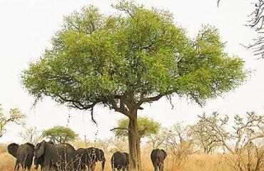 426px-Elephants_around_tree_in_Waza,_Cameroon