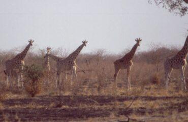 Waza-NP-Giraffes