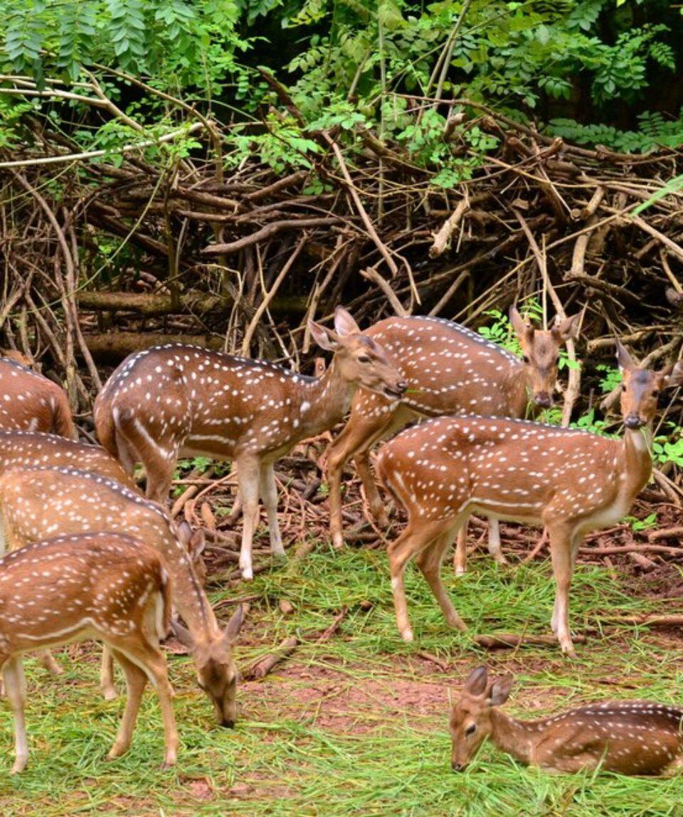 Waza National Park spotted deer