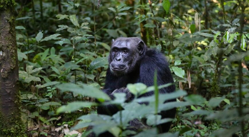 chimpanzee-898756_1920